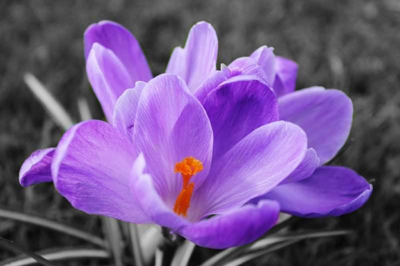 El lila destaca por evocar en nosotros pensamientos como la nostalgia, su principal significado