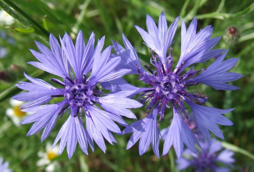 el color azul aciano se da de forma natural en muchas flores en la naturaleza