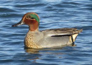 el color cerceta recibe su nombre de una de las tonalidades características de este tipo de ave