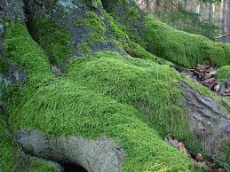 el musgo que se desarrolla sobre las piedras y vegetación da nombre a este color