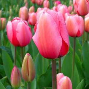 el tulipán es una flor que da nombre a este bello color