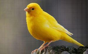 este pájaro llamado canario da nombre a este color