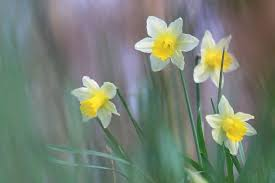 la flor llamada narciso da nombre a este color