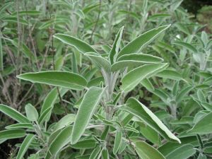 la salvia es una planta que da nombre a este color