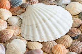las conchas más claras son las que dan nombre a este color