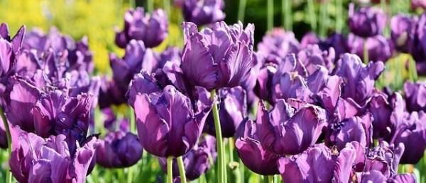sonhar com muitas flores roxas