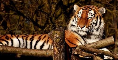 tigre dormindo