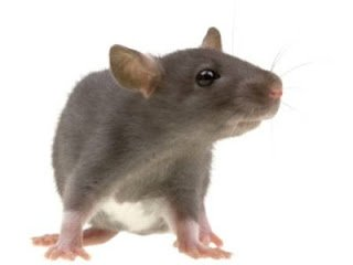 ▷ Significado dos sonhos Rato【IMPERDÍVEL】