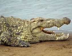 ▷ Sonhar com Crocodilo【Significados impressionantes】