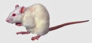 ▷ Sonhar com Rato Branco【IMPERDÍVEL】