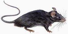 ▷ Sonhar com rato preto【IMPERDÍVEL】