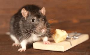 ▷ Sonhar Matando Rato 【10 Significados Reveladores】