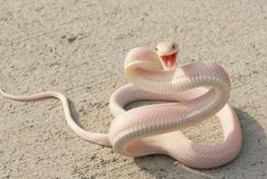 ▷ Sonhar Com Cobra Rosa 【É falsidade?】
