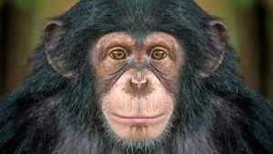 ▷ Sonhar Com Chimpanzé 【É mau presságio?】