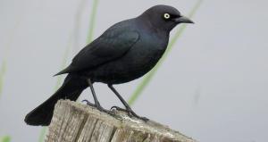 ▷ Sonhar Com Pássaro Preto 【10 Significados Reveladores】