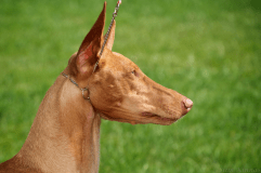 This breed seems just so regal to me.