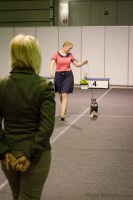 Puppy BIS - tiny Schnauzer doing his thing