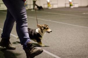 Puppy BIS - a Corgy strutting his stuff