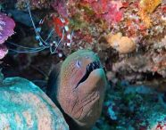 Giant Moray with Banded Coral Shrimp