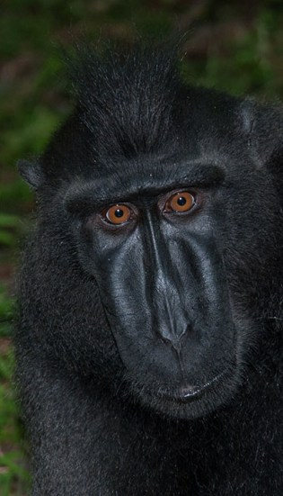 Tangkoko National Park - Celebes crested black macaque