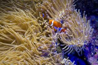 uv anemone clown-2642