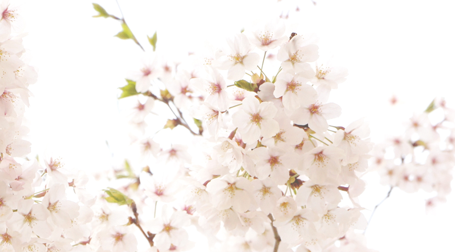 cherry_blossoms_03