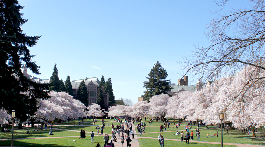 uw_cherry_blossoms