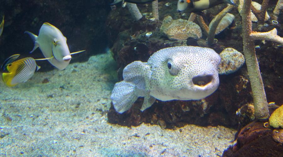 01-seattle-aquarium-blow-fish