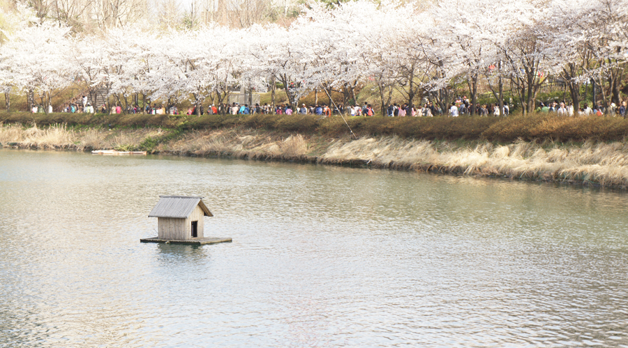 cherry-blossoms-sokchon-lake-korea--04