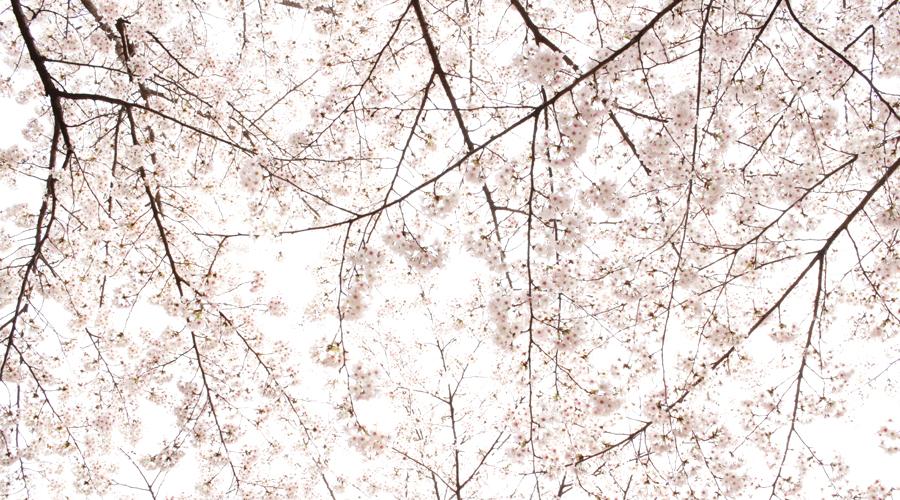 2015-04-09-korea-seoul-jamshil-seokchon-lake-cherry-blossoms-06