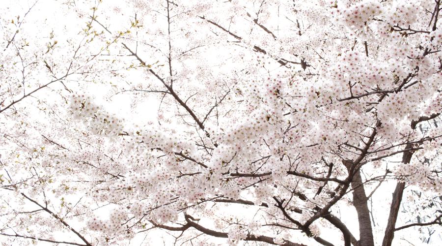 2015-04-09-korea-seoul-jamshil-seokchon-lake-cherry-blossoms-07