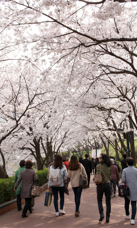 2015-04-09-korea-seoul-jamshil-seokchon-lake-cherry-blossoms-08