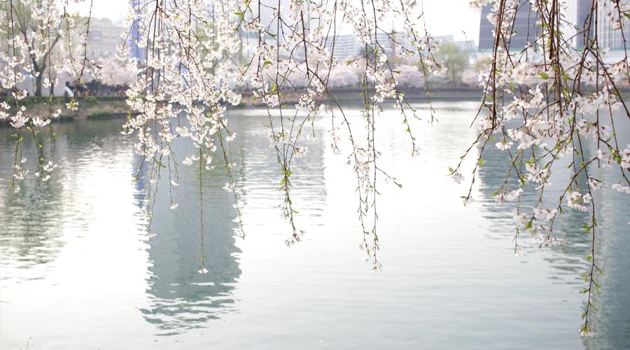 2015-04-09-korea-seoul-jamshil-seokchon-lake-cherry-blossoms-14
