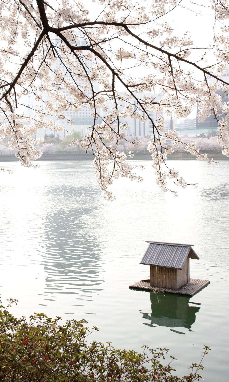 2015-04-09-korea-seoul-jamshil-seokchon-lake-cherry-blossoms-15