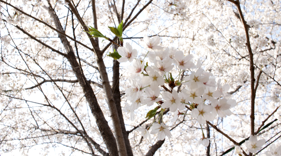 2015-04-11-korea-seoul-ansan-cherry-blossoms-18
