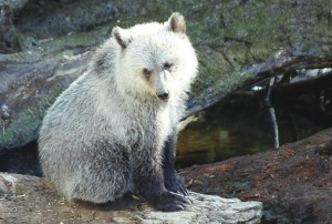 Grizzly cub at Knight Inlet, British Columbia, Canada