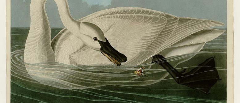 Plate 406 of the Birds of America by John James Audubon, depicting the trumpeter swan - for the Swan on Lost Lagoon