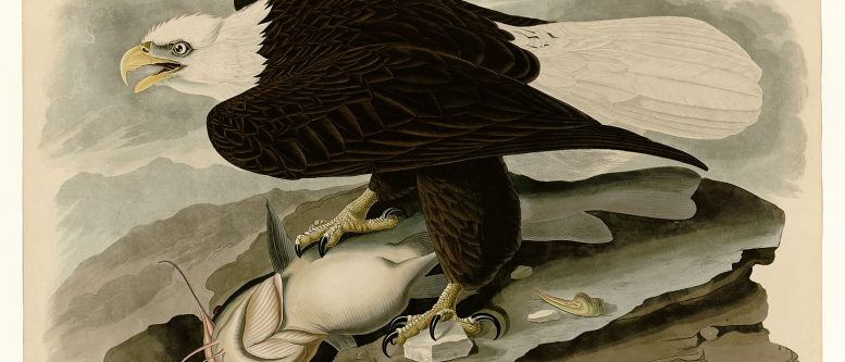 by John James Audubon depicting White-headed Eagle.