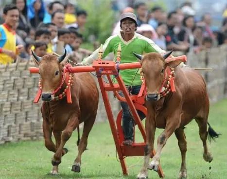 Info mengenai Permainan Karapan Sapi Jawa Timur dan Sejarahnya