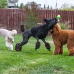 Dog Breeder Elverta Ca Silver Ace Poodles