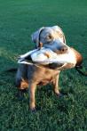 Silver Female Labrador Retriever
