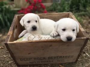 White Labrador Puppies