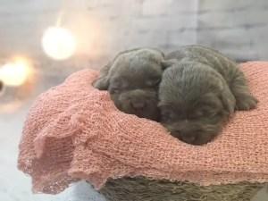 Silver lab puppies