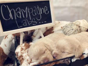 Champagne Lab Pups
