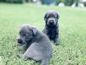 Charcoal Labrador Puppies for Sale