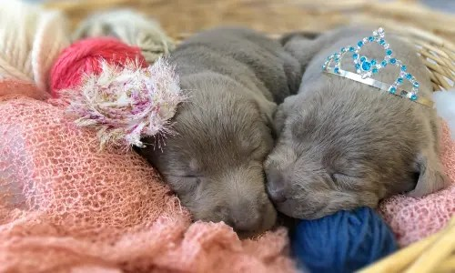 Silver Lab Puppies for Sale from Silver and Charcoal Kennels