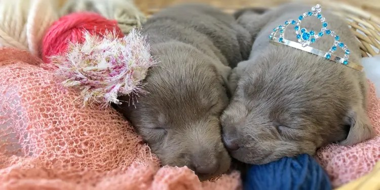 labrador-puppies-sleeping