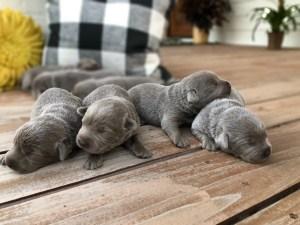 Silver Female Lab Puppy Litter