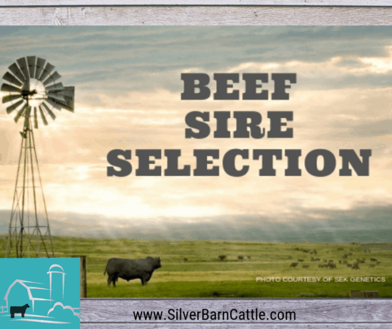 Beef Sire Selection: Put a Powerhouse in Your Pasture