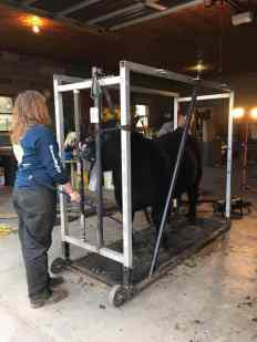Working together to fit cattle | Silver Barn Cattle